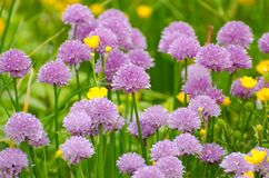 Purple, Flower, Chives, Grass Stock Photography