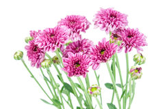 Free Purple Flower (Chrysanthemum Purple) Stock Photography - 44795462