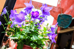 Purple flower. In classic place Royalty Free Stock Photography
