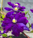 Purple flower of clematis Stock Image