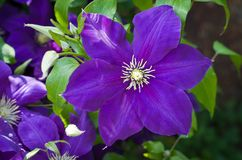 Purple flower Clematis Jackmanii. royalty free stock photos