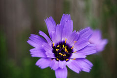Purple flower close up. Purple and yellow flower. close up with pistils visible and out of focus background Stock Image