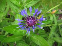 Purple flower close up of Centaurea montana. Inflorescence and leaves of Centaurea montana Stock Image
