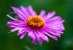 Purple flower close up macro nature flora summer. Green background Stock Image