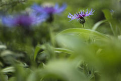 Purple flower. Close-up picture of a beautiful purple flower called Centaurea montana. It is surrounded by green and out of focus foliage Royalty Free Stock Photos