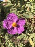 Purple flower close up royalty free stock image