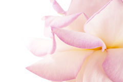 Purple flower closeup. Valentine day holiday card Stock Images