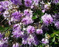 Purple Flower Clusters. Purple Cluster of Springtime Flowers in California royalty free stock images