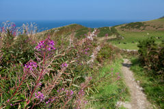 Purple Flower by the Coast Path Royalty Free Stock Photos