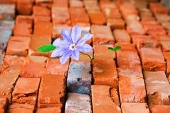 Purple flower in crack. Purple clematis grow in crack Stock Photos