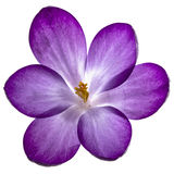 Purple flower of crocus, isolated on white background Royalty Free Stock Photography