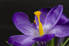 Purple flower Crocus in the pot leaves are green leaves pistil stamen black wooden background Royalty Free Stock Image