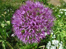 Purple flower of cultivated garden garlic, botanic name Allium. Ornamental garden plant royalty free stock photos