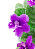 Purple flower cyclamen with green leaves Stock Photo