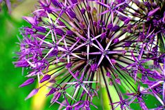 Purple flower - detail royalty free stock image