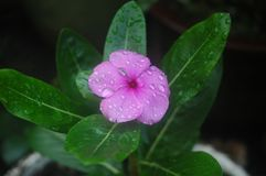 A purple flower with dew drops stock images