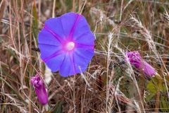 Purple flower on dry grass background royalty free stock photography