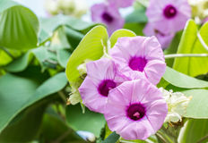 Purple flower, Elephant Creeper, Silver Morning Glory. Stock Image
