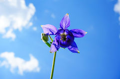 Purple flower of European columbine (Aquilegia vulgaris) in sunny day royalty free stock images