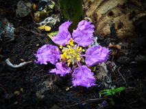 Purple flower. A flower fall to the ground. It fall from a big tree Royalty Free Stock Photo