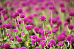 Purple flower field. Select focus on foreground Royalty Free Stock Photos