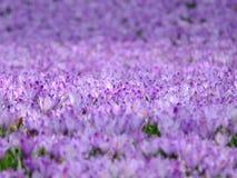 Purple Flower Field Stock Photo
