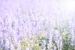 Purple flower field in blur background Royalty Free Stock Images