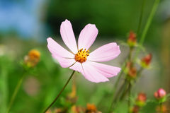 Purple flower on a field with blurry background Royalty Free Stock Photography