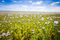 Purple Flower Field. Under the blue sky background Royalty Free Stock Image