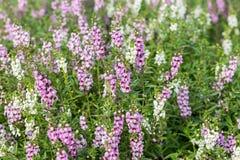 Purple flower fields Stock Photography