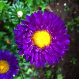 The purple flower. Flowers is beautiful Royalty Free Stock Photos