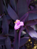 Purple flower. Flowers on display in the greenhouses at Elizabeth park in Hartford, CT Stock Images
