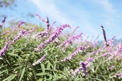 Purple Flower. S in a field Royalty Free Stock Image