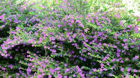 Purple flower. S in the garden in sunny day stock video
