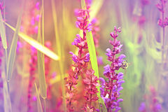 Purple flower in focus, bee out of focus Royalty Free Stock Photo