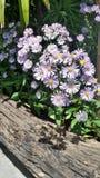 Purple flower on footpath in garden Royalty Free Stock Image