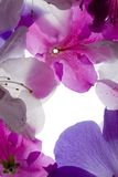 Purple Flower Frame. Purple Flower Petals Against White Background Royalty Free Stock Image