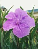 Purple flower freshly in the morning. With water drop Royalty Free Stock Image