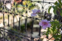 Purple flower in front of iron gate stock photos