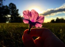 Purple flower in front of sunset. Purple flower with sun setting behind Stock Photography