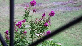Purple flower in full blossom in the rain and wind seen from balcony SLOW MOTION stock video