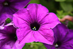 Purple flower in garden Royalty Free Stock Image