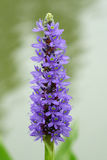 Purple flower. In the garden Stock Photos
