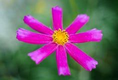 Purple flower garden. Royalty Free Stock Image