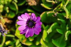 purple flower in the garden, digital photo picture as a background royalty free stock photo
