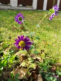 Purple flower in a garden stock images