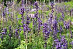 Purple flower in garden. Purple flower in garden royalty free stock image