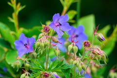 Purple flower of Geranium pratense in field Royalty Free Stock Photo