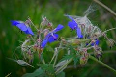Purple flower of Geranium pratense stock photos