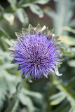 Purple flower of a globe artichoke plant in portrait orientation Stock Image